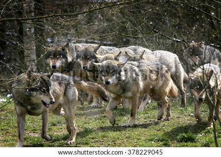 wolf pack - stock photo