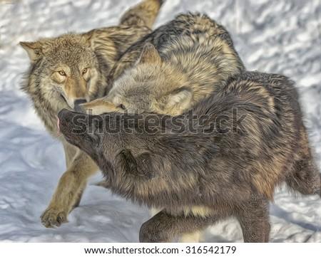 Wolf pack dominance behavior,photo art - stock photo