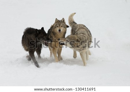 Wolf pack interaction on snow covered field
