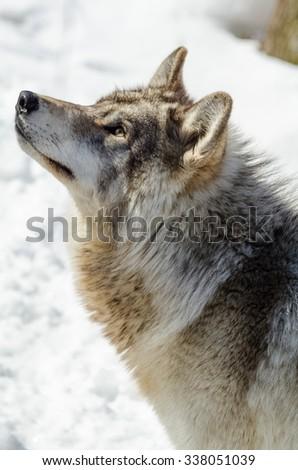 Wolf portrait - stock photo