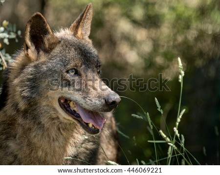 Wolf portrait  (Canis lupus signatus) in the bushes in summer in Spain - stock photo