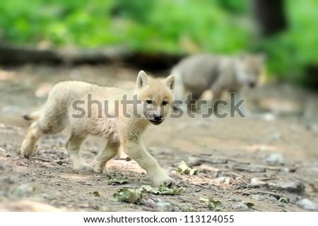 Wolf pup - stock photo