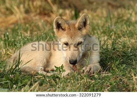 Wolf Pup - stock photo