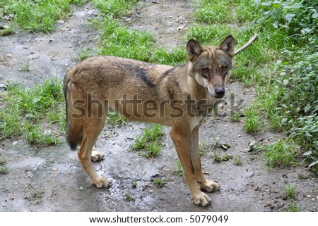 Wolf puppy standing and looking round - stock photo