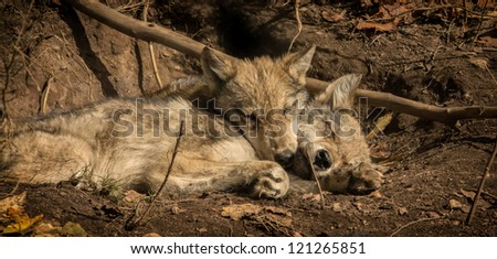 Wolf pups - stock photo