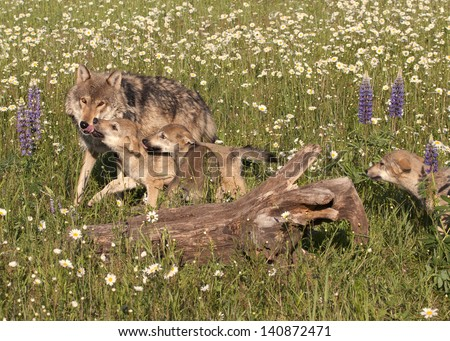 Wolf Pups Greeting Mom - stock photo
