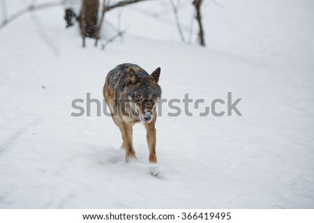 wolf running int he snow  - stock photo