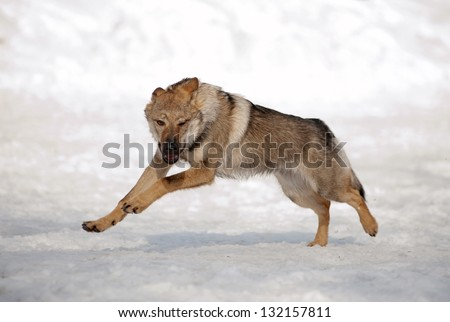 Wolf running on snowy hill - stock photo