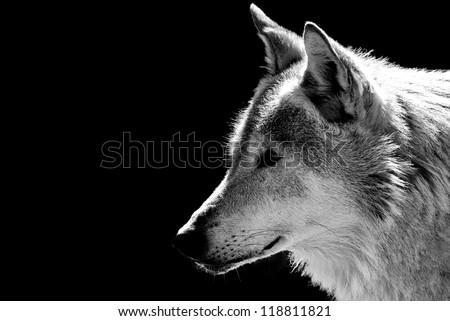 Wolf's head close-up - stock photo