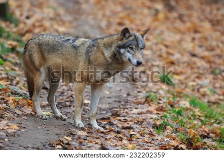wolf search of prey - stock photo