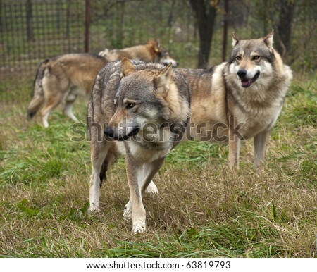 wolf serbia. The wolf (Canis lupus) is the largest species among the representatives of the genus Canis, body size varies widely, depending on the region concerned, and can amount to 60 kg in weight. - stock photo