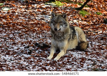 wolf sitting on red leaves with slight snowy blanket