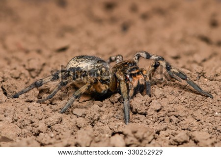 Wolf Spider in nature - side view