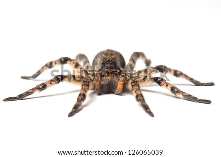 wolf spider isolated on white - stock photo