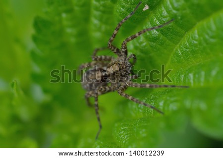 Wolf spider(Lycosidae Sundevall) is sitting on a leaf - stock photo