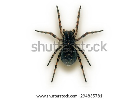 Wolf spider macro studio isolated - stock photo