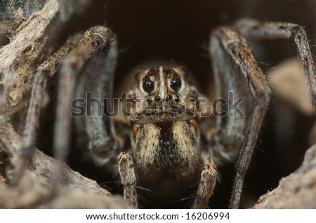Wolf Spider sits at the top of his hole - stock photo