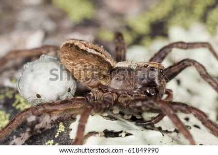 Wolf spider with eggs. Extreme close-up.