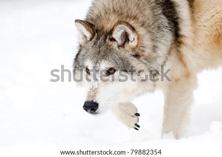 Wolf stalking in fresh snow - stock photo