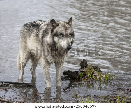 Wolf Wading in a Lake