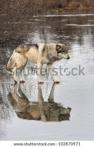 Wolf Walking on Frozen Lake - stock photo