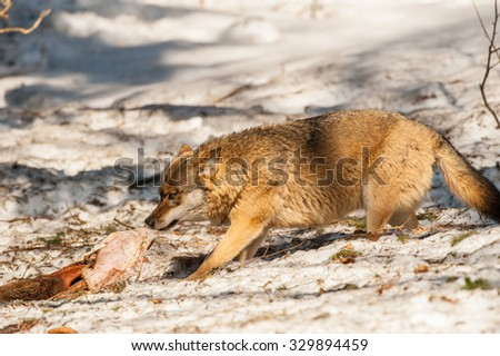 wolf while eating in the snow background