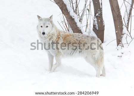 wolf winter on nature on white snow