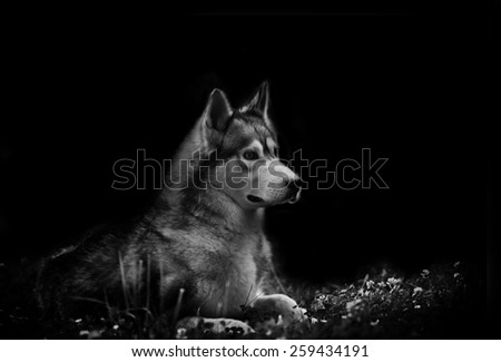 Wolfdog in dark - stock photo