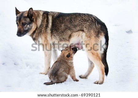 wolfhound puppy and his mother - stock photo