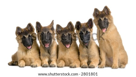 wolfpack of Belgian Tervuren puppies in front of a white background and looking at the camera - stock photo