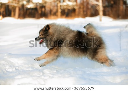 Wolfspitz running on winter background