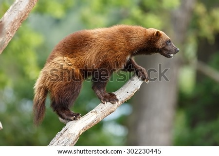 Wolverine getting ready to attack - stock photo