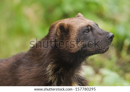 Wolverine looking at something in the woods - stock photo