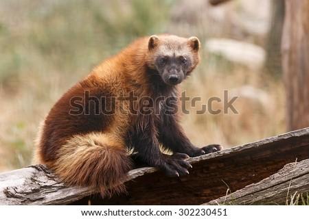 Wolverine portrait - stock photo