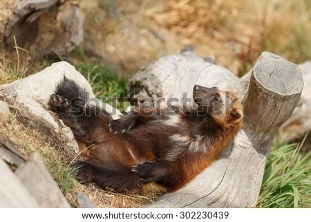 Wolverine very comfortably resting - stock photo
