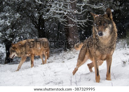Wolves in the snow in winter in the forest - stock photo
