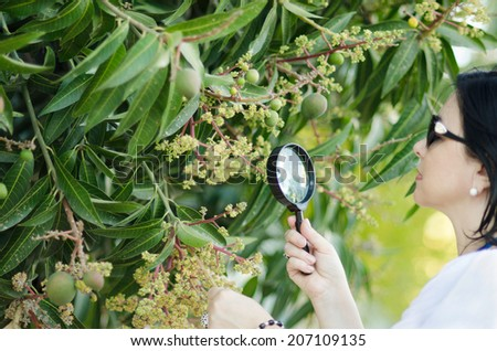 Woman botanist checking the growth of mango pale yellowish flowers on the tree with magnifying glass - stock photo