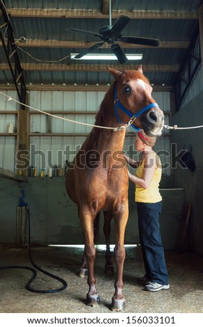 Woman Brushing Her Chestnut Gelding Horse in the Stables - stock photo