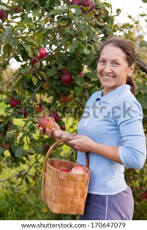 Woman collecting apples in  basket.