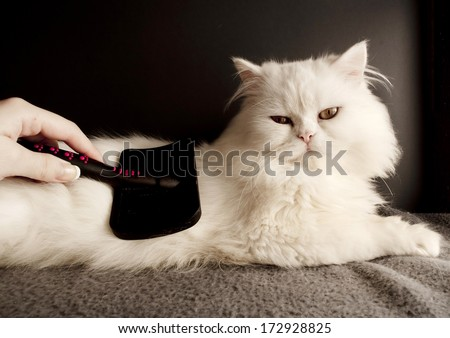 Woman combing fur of a white Persian cat - stock photo