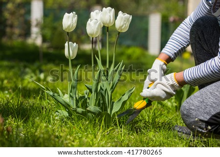 Woman cutting grass around tulip flowers with gardening scissors