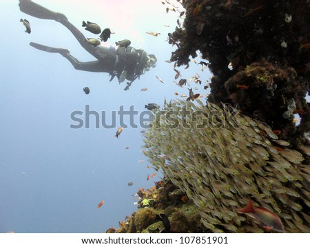 Woman diver in the middle of blue at Red sea with group of glassfish - stock photo