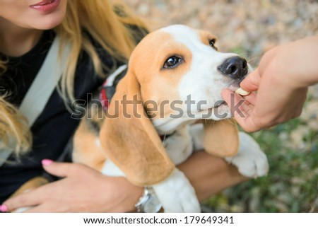 woman feeding cute beagle puppy dog from the hand - stock photo
