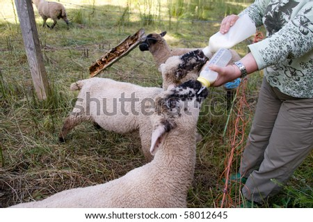 Woman feeds the lambs with milk from a bottle. - stock photo