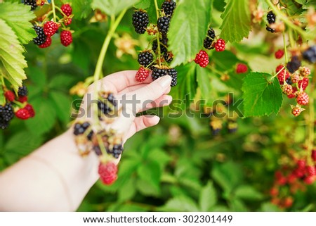 Woman gathering fresh blackberries ripen on farm, closeup of a hand - stock photo