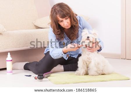 Woman grooming a dog purebreed maltese. - stock photo