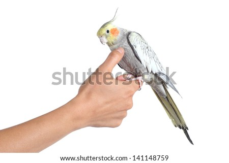 Woman hand holding and caressing with thumb a cockatiel bird isolated on a white background - stock photo