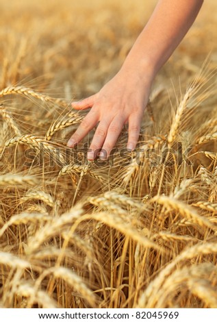 Woman hand passing by and touching wheat - closeup - stock photo