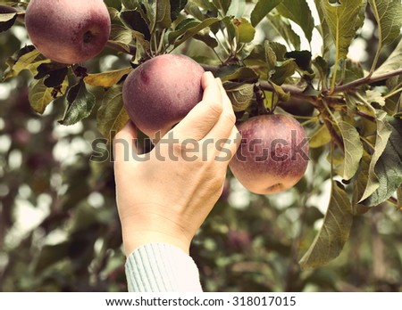 Woman hand picking a red ripe apple, retro grunge photo