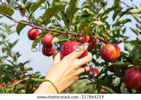 woman hand picking an apple - stock photo
